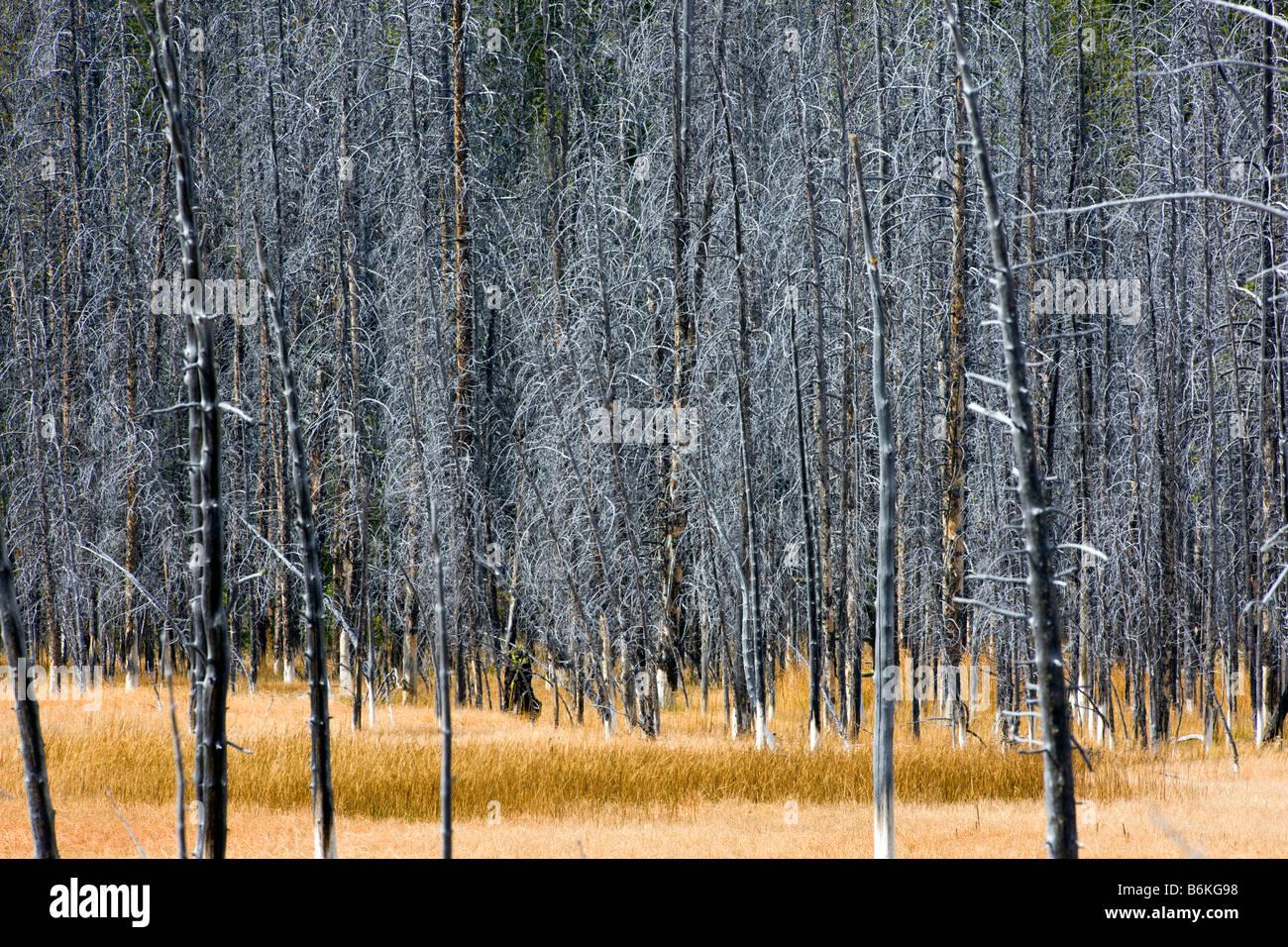 Les arbres tués par des phénomènes thermiques, près de Grand Prismatic Spring, Midway Geyser Photo Stock