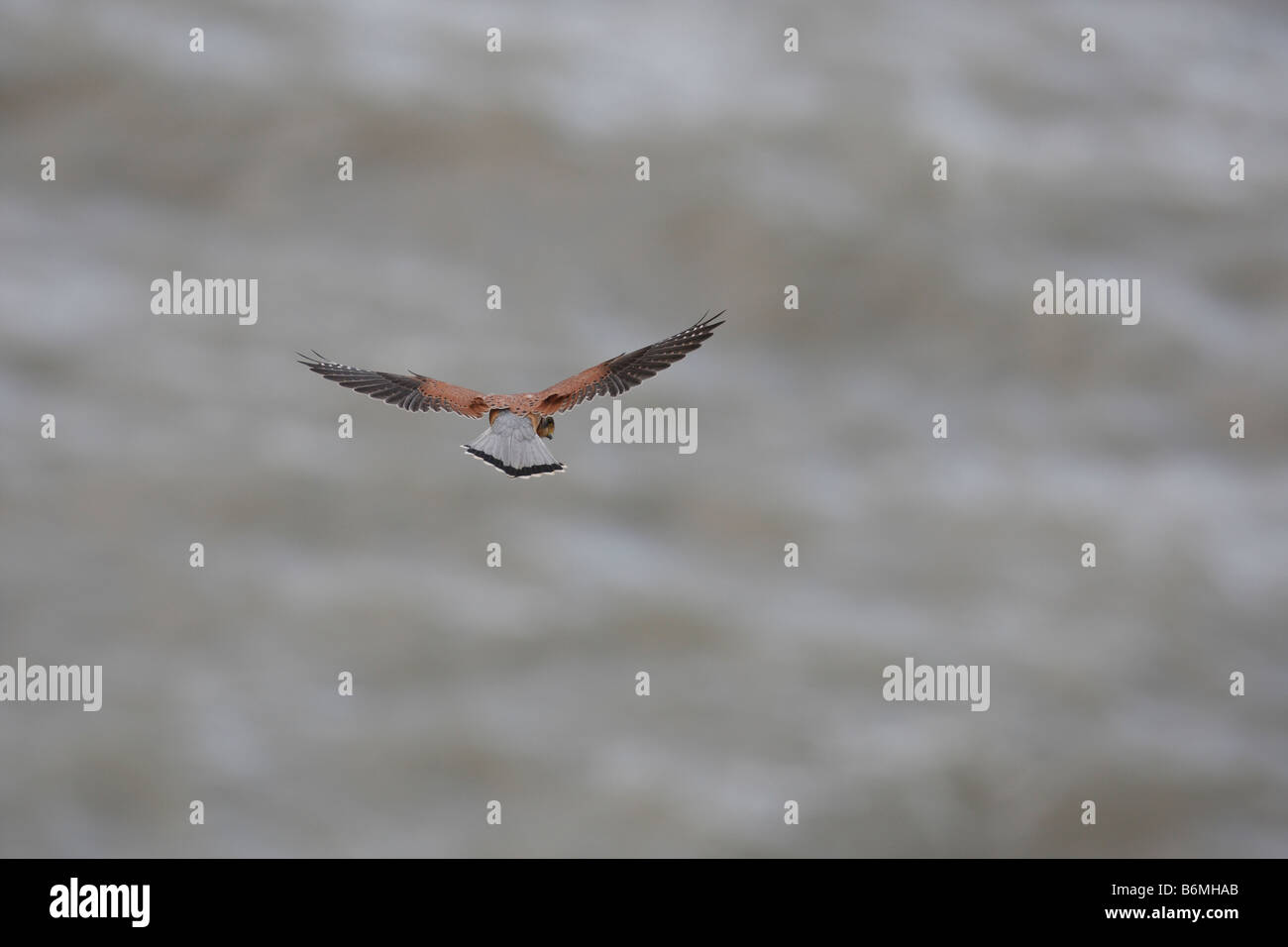 KESTREL Falco planant au-tinniunculus Photo Stock
