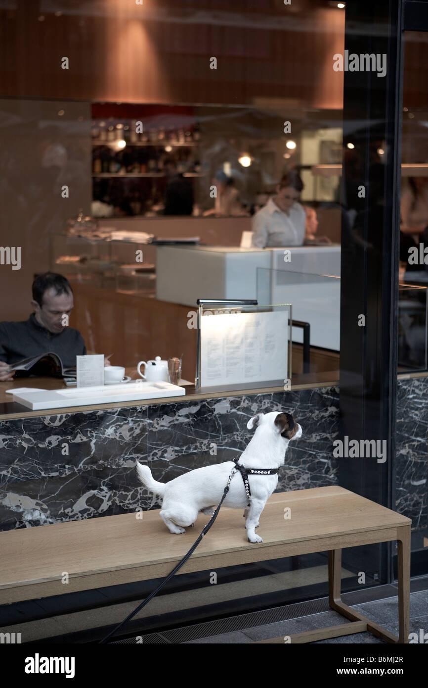 Café à l'EXTÉRIEUR GAUCHE JACK RUSSELL Photo Stock