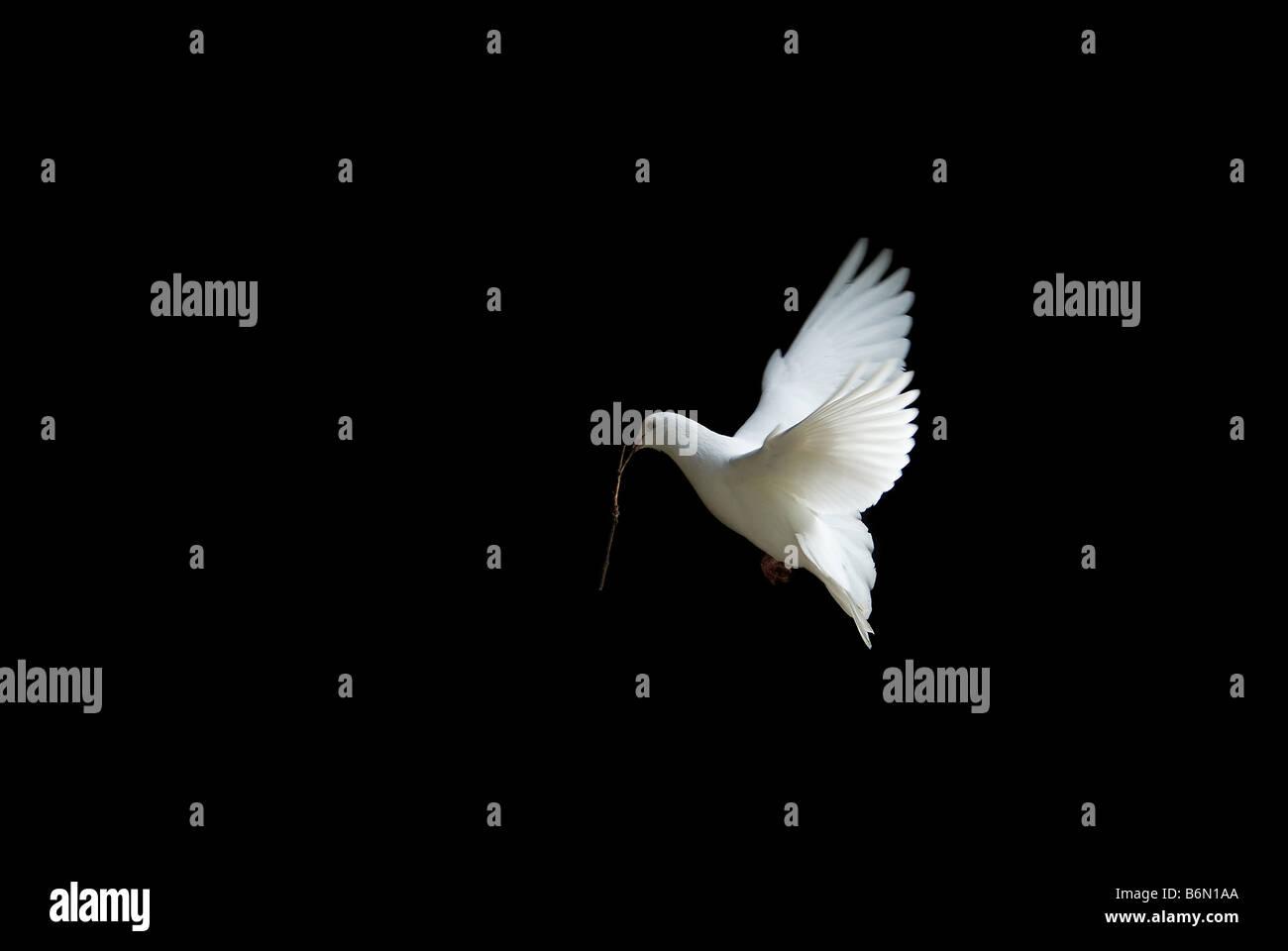 Belle colombe blanche en vol tenant une petite branche pour construire un nid au printemps Photo Stock