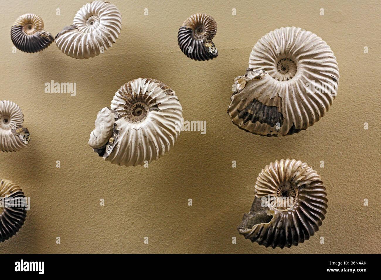 Les fossiles (Speetoniceras versicolor), musée de paléontologie, Moscou, Russie Photo Stock