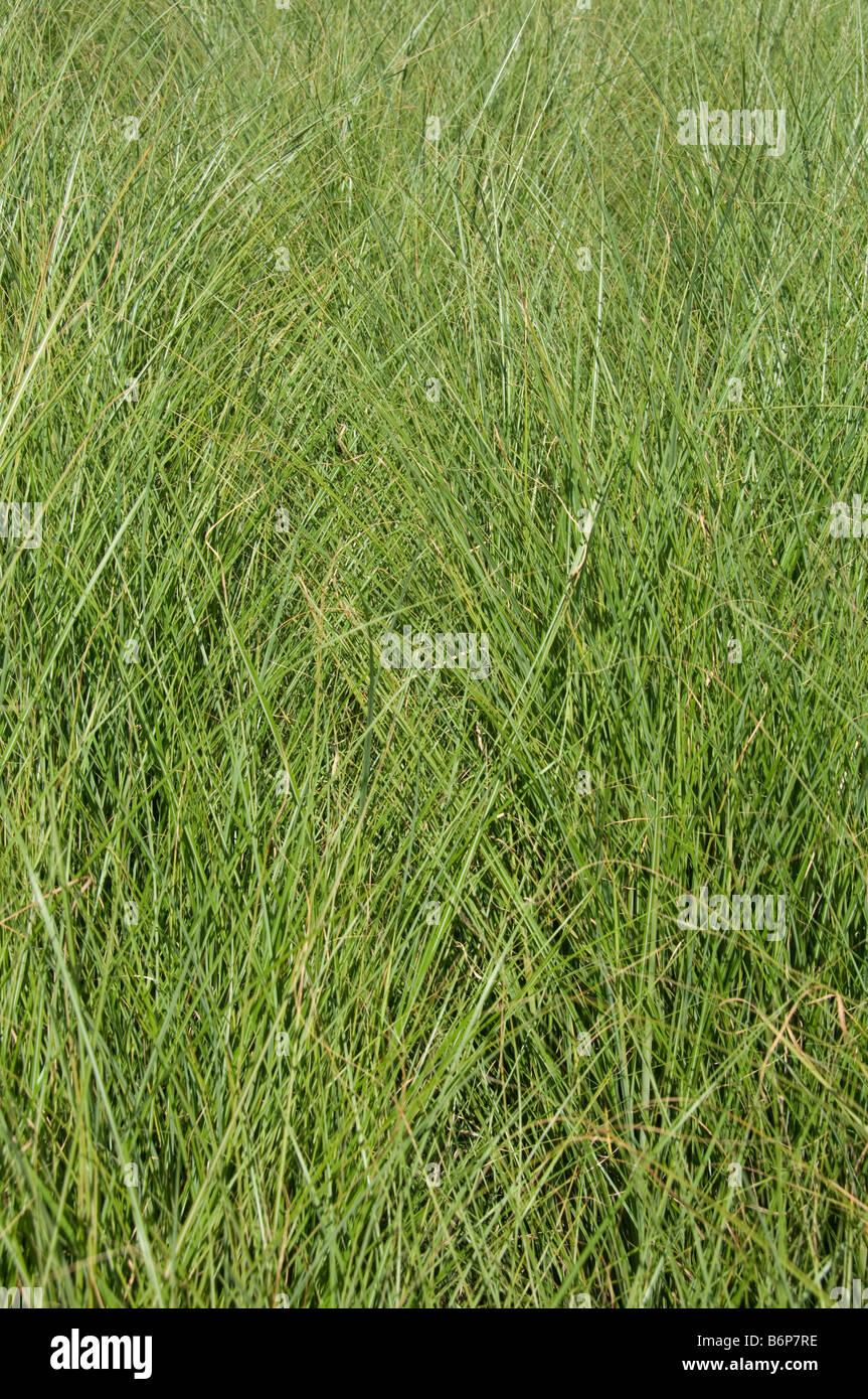 L'herbe ornementale luxuriante en été -- close-up texture de lignes entrecroisées Photo Stock