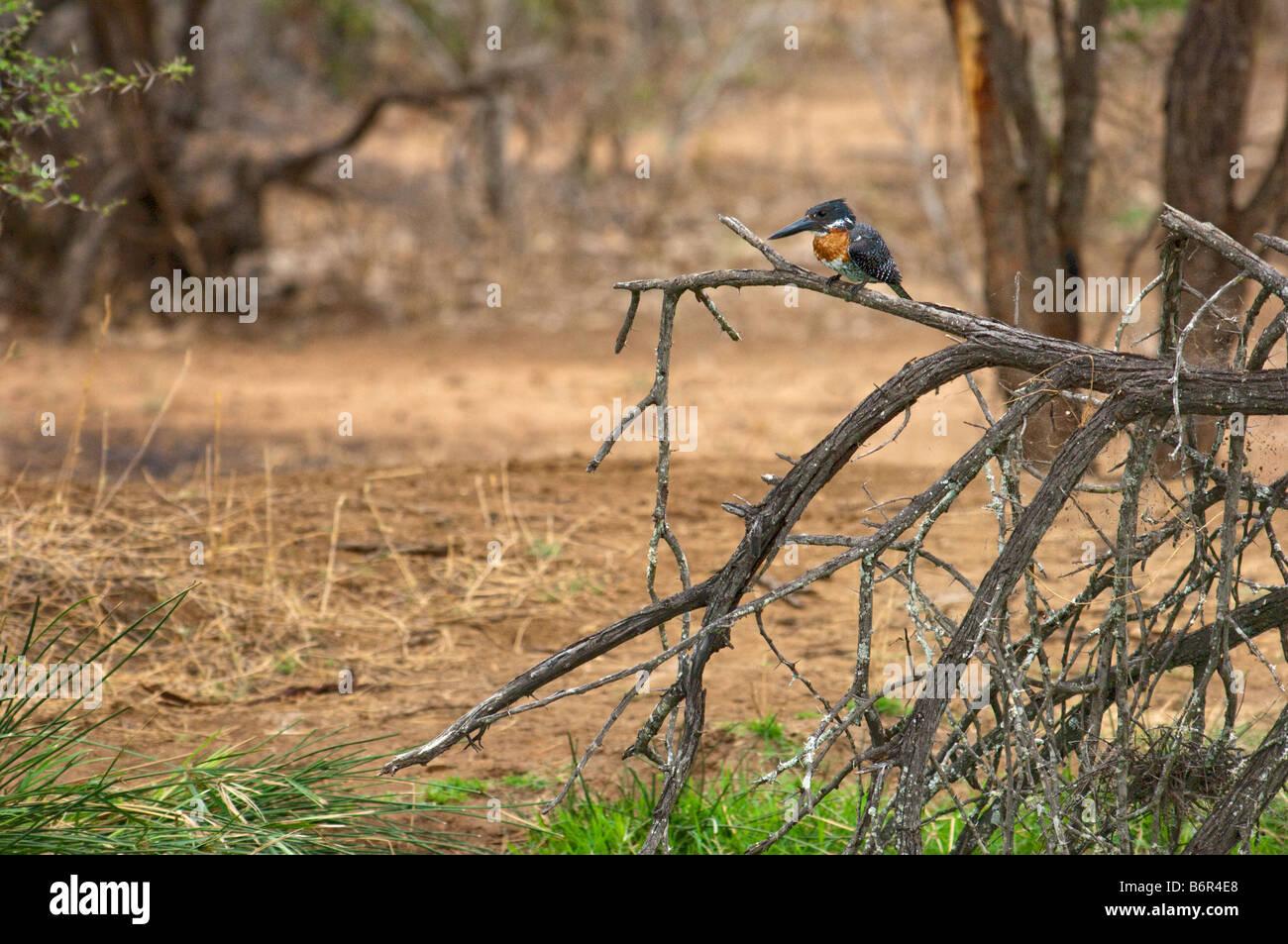 Sauvage de la faune africaine Kingfisher géant Megaceryle maxima ambiance points noirs blanc oiseau repéré Photo Stock