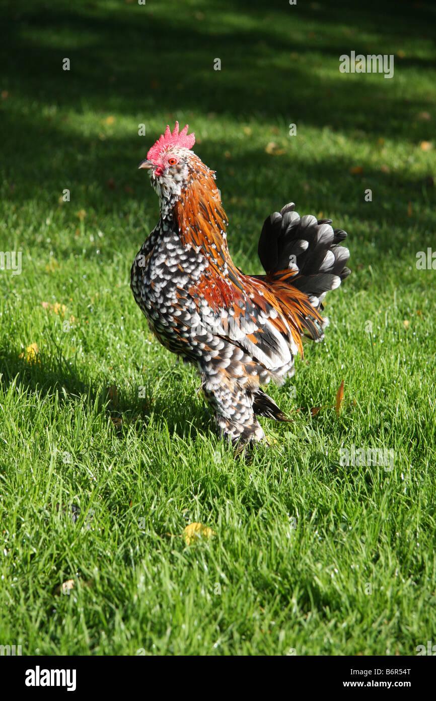 Barbu d'Uccle-Cockeral de Mille Fleur couleur. Cette Volaille est debout sur l'herbe montrant offf, en plein Photo Stock