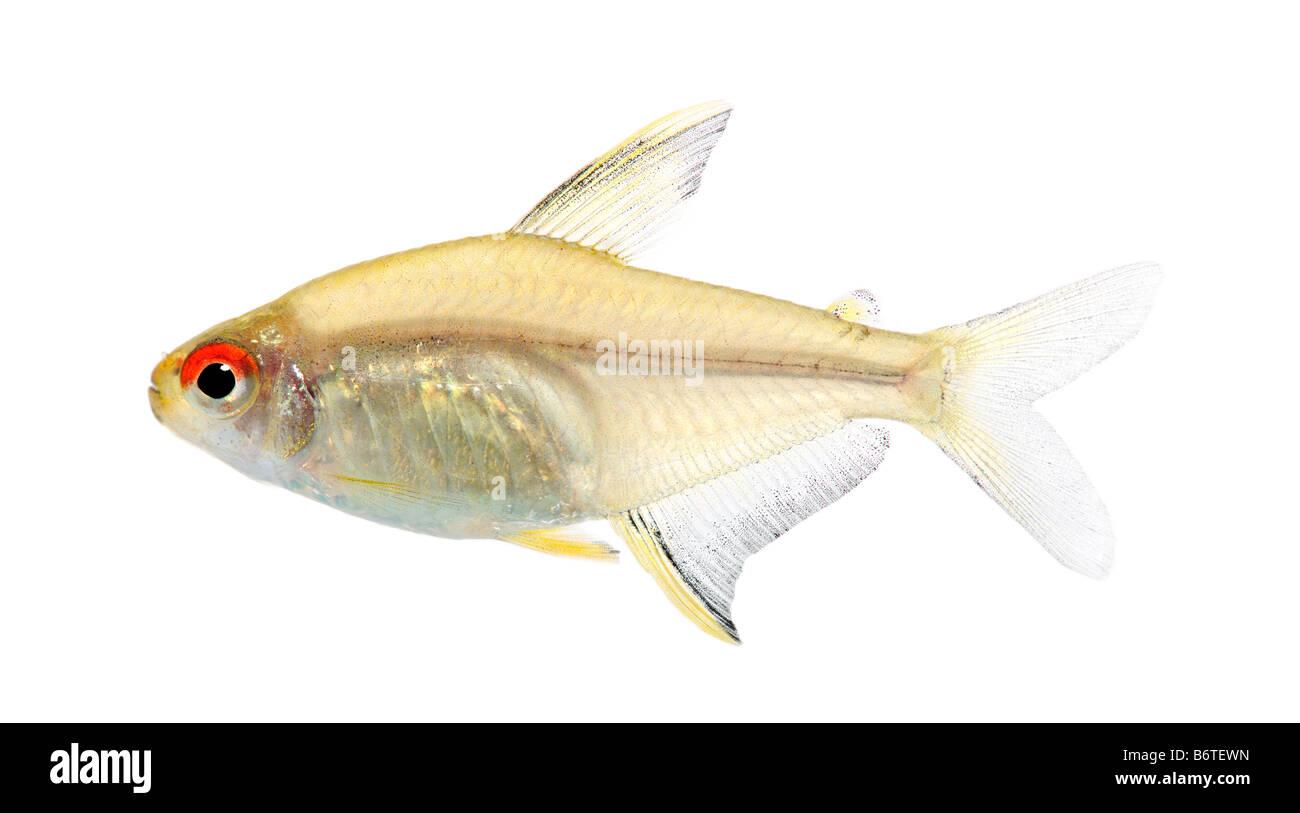Poisson Hyphessobrycon bentosi devant un fond blanc Photo Stock