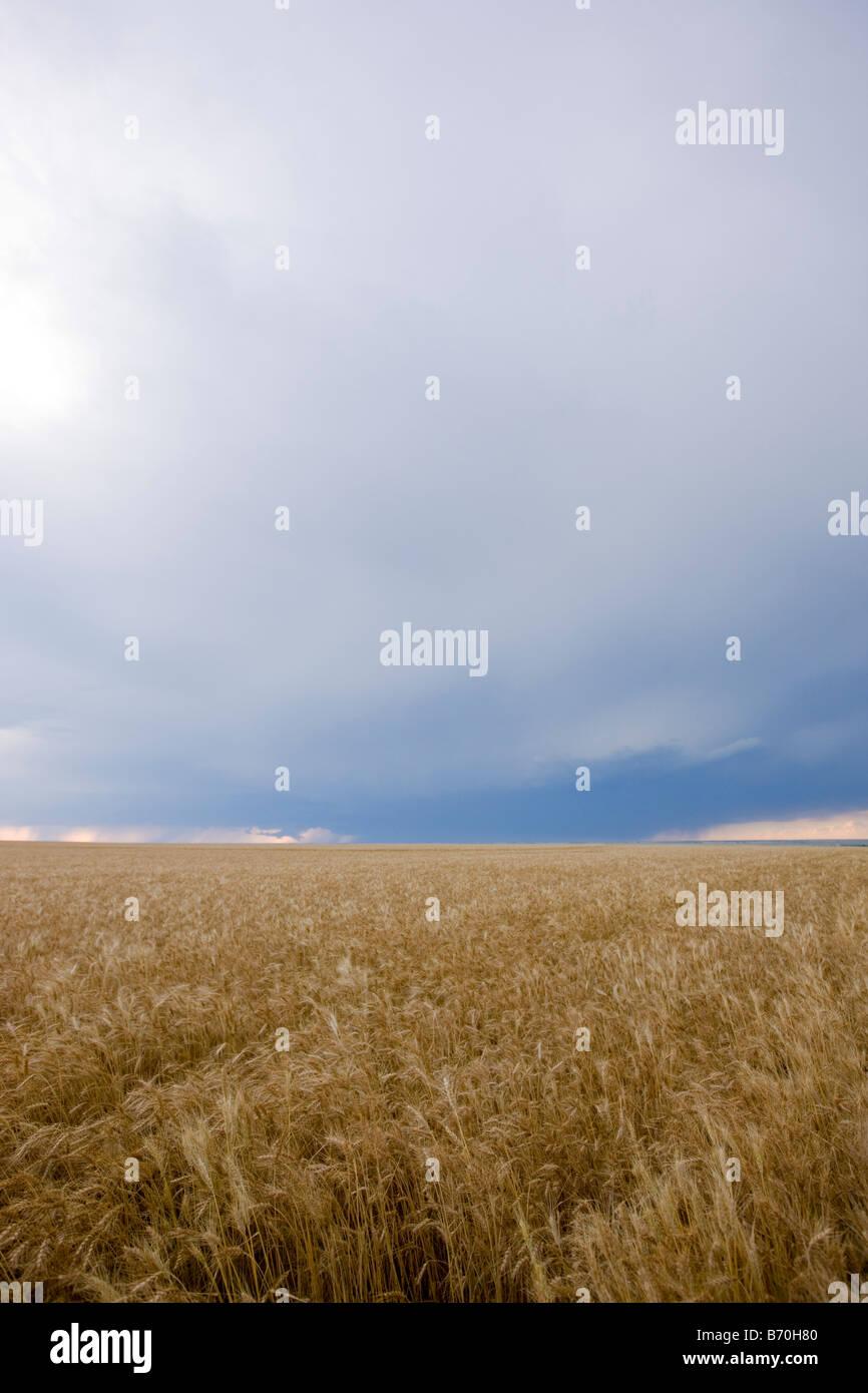 Champ de blé dans la région de Wakeeney Kansas Photo Stock