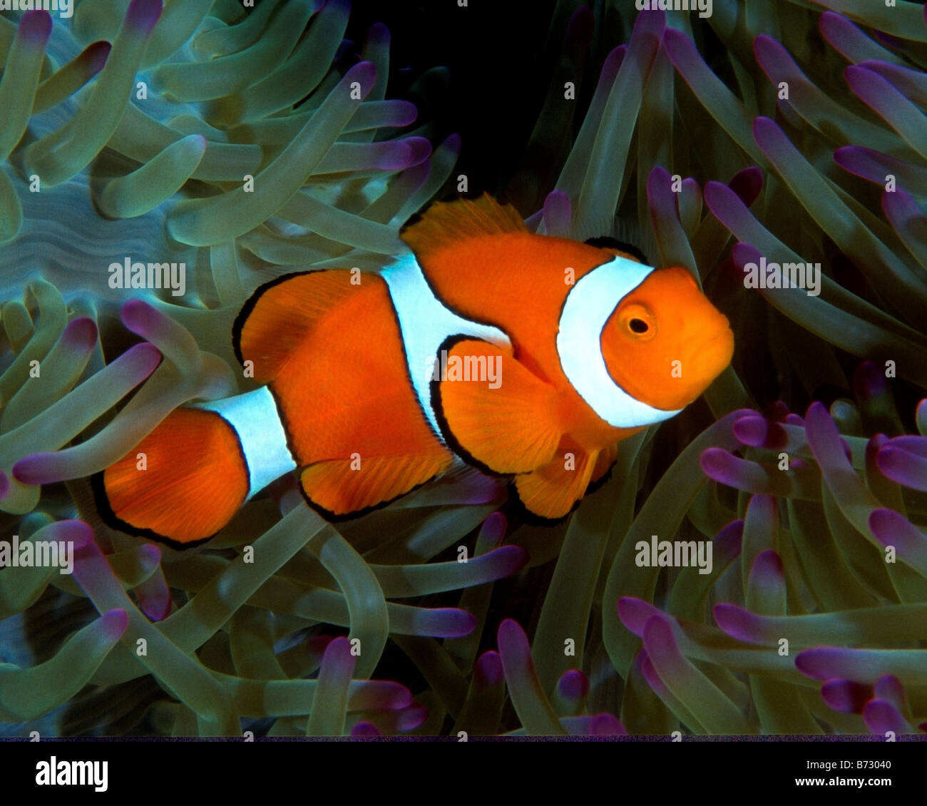 Le poisson clown poisson de l 39 an mone nemo poissons for Poisson clown achat