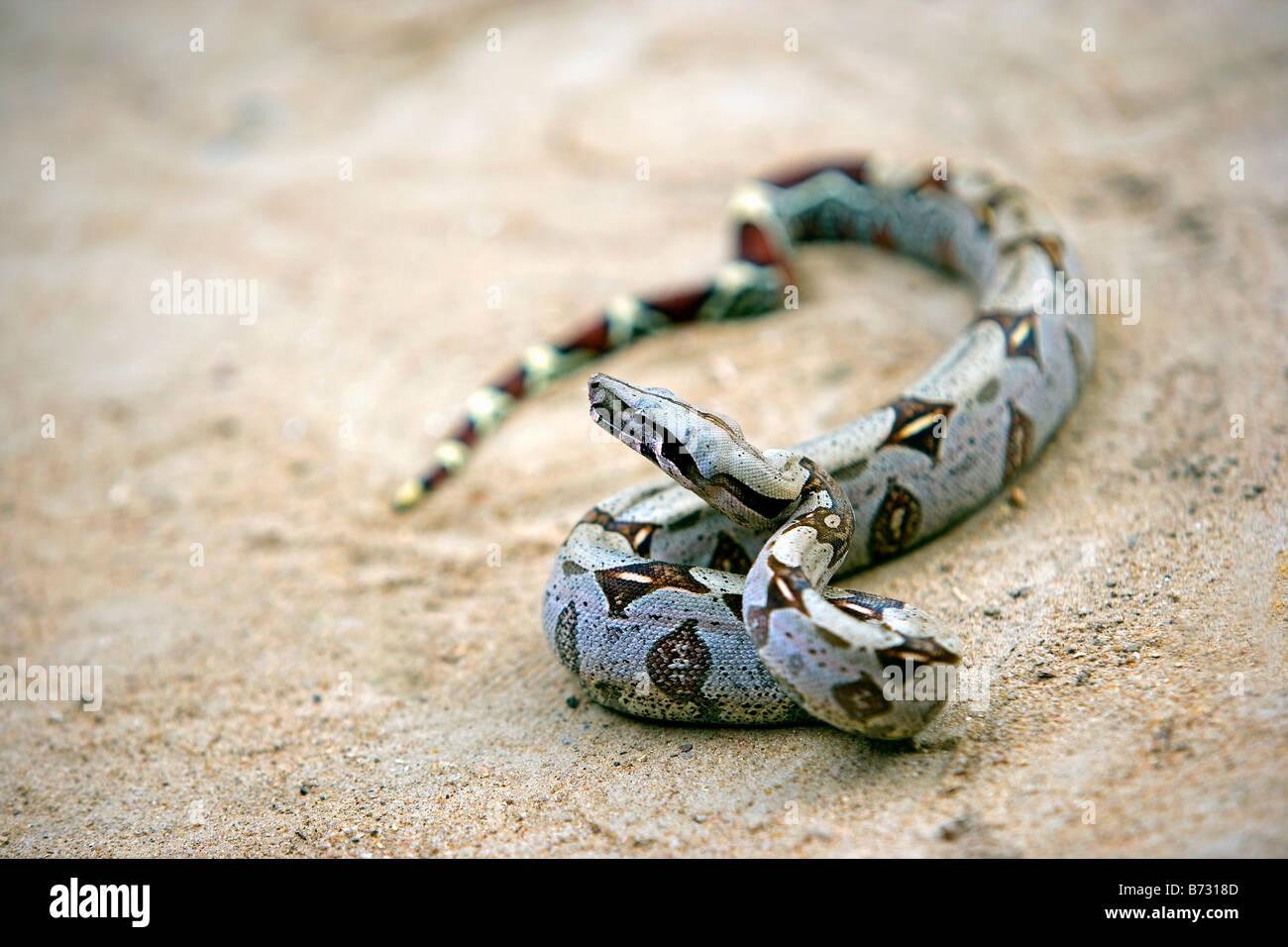 Le Suriname, Laduani, sur la rive de la rivière Suriname Boven. Boa Constrictor. (Boa constrictor constrictor). Photo Stock