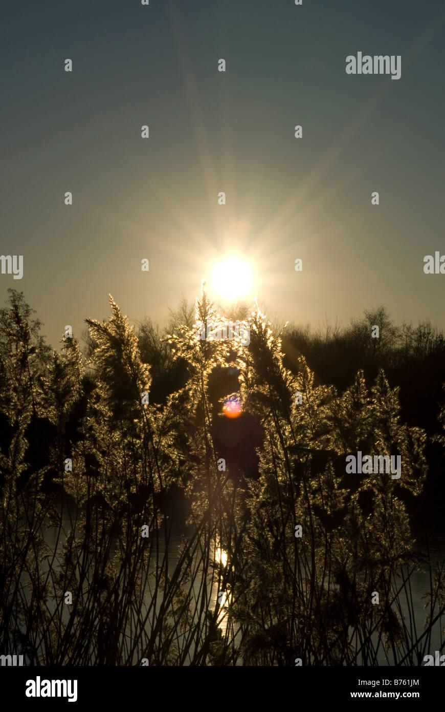 Plantes de l'eau d'un lac au coucher du soleil Banque D'Images