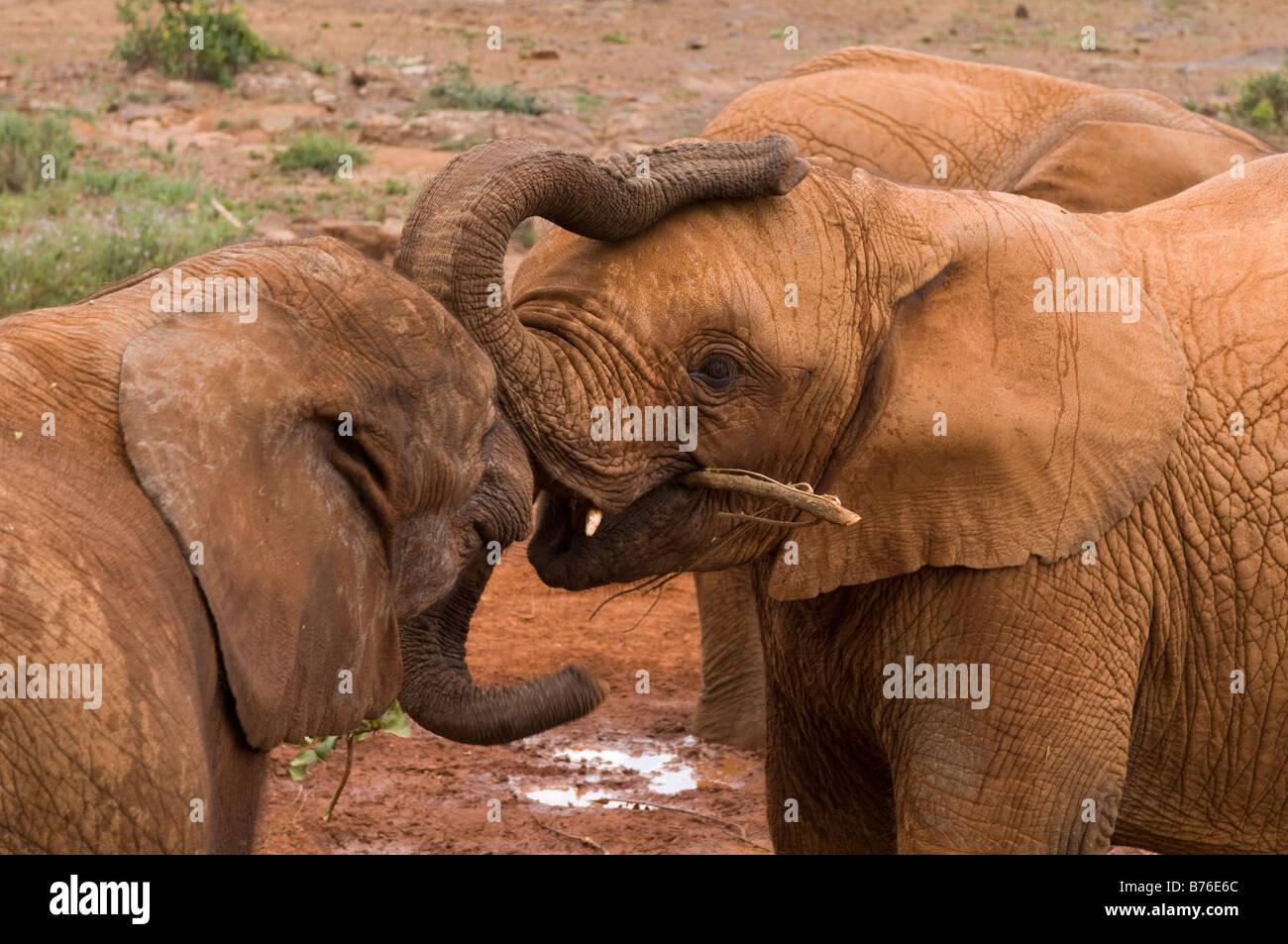 David Sheldrick Wildlife Trust orphelinat des éléphants Nairobi Kenya Photo Stock