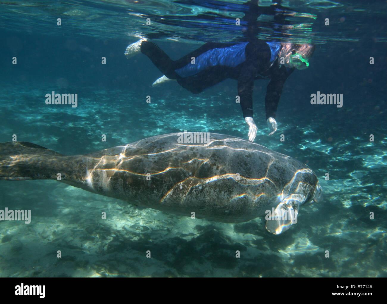 Lamantin des plongeurs plongée floride Crystal River Photo Stock