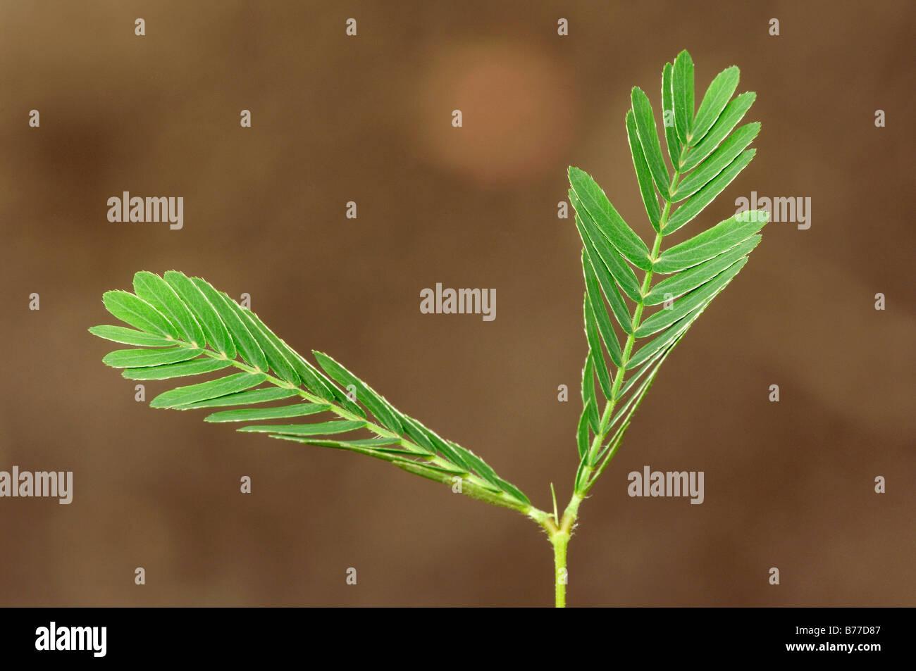 Des plantes sensibles, plante humble ou Touch-Me-pas (Mimosa pudica), feuilles Photo Stock