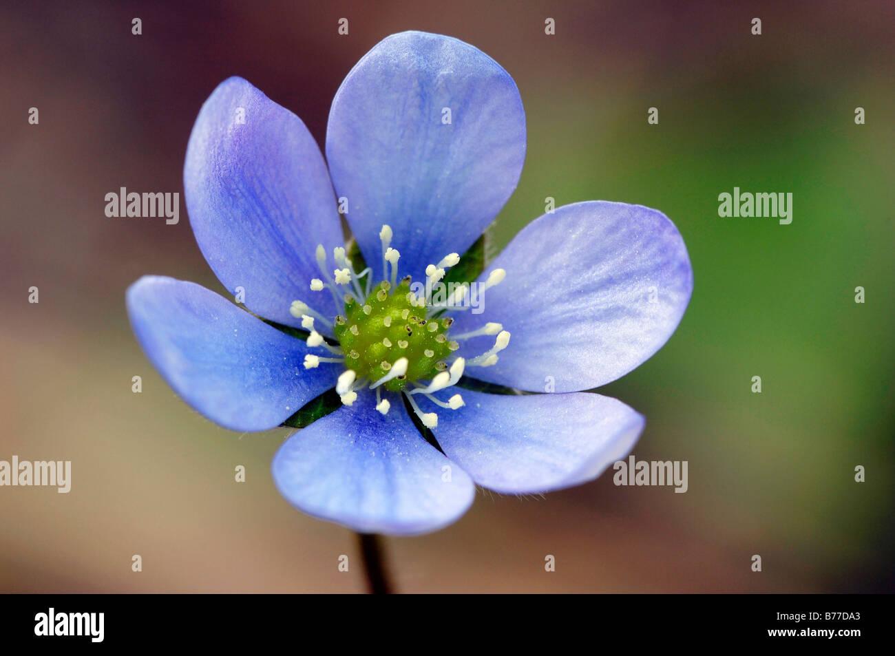 Kidneywort, hépatique ou l'ombelle (Hepatica nobilis), Provence, Sud de France, France, Europe Banque D'Images