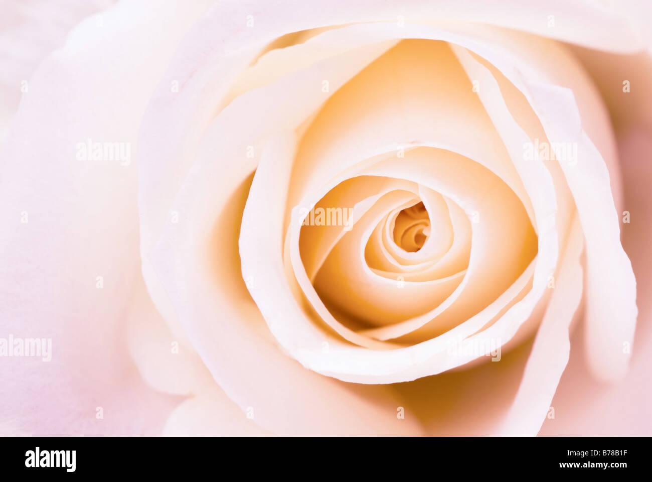 Belle rose rose pour les fonds Photo Stock
