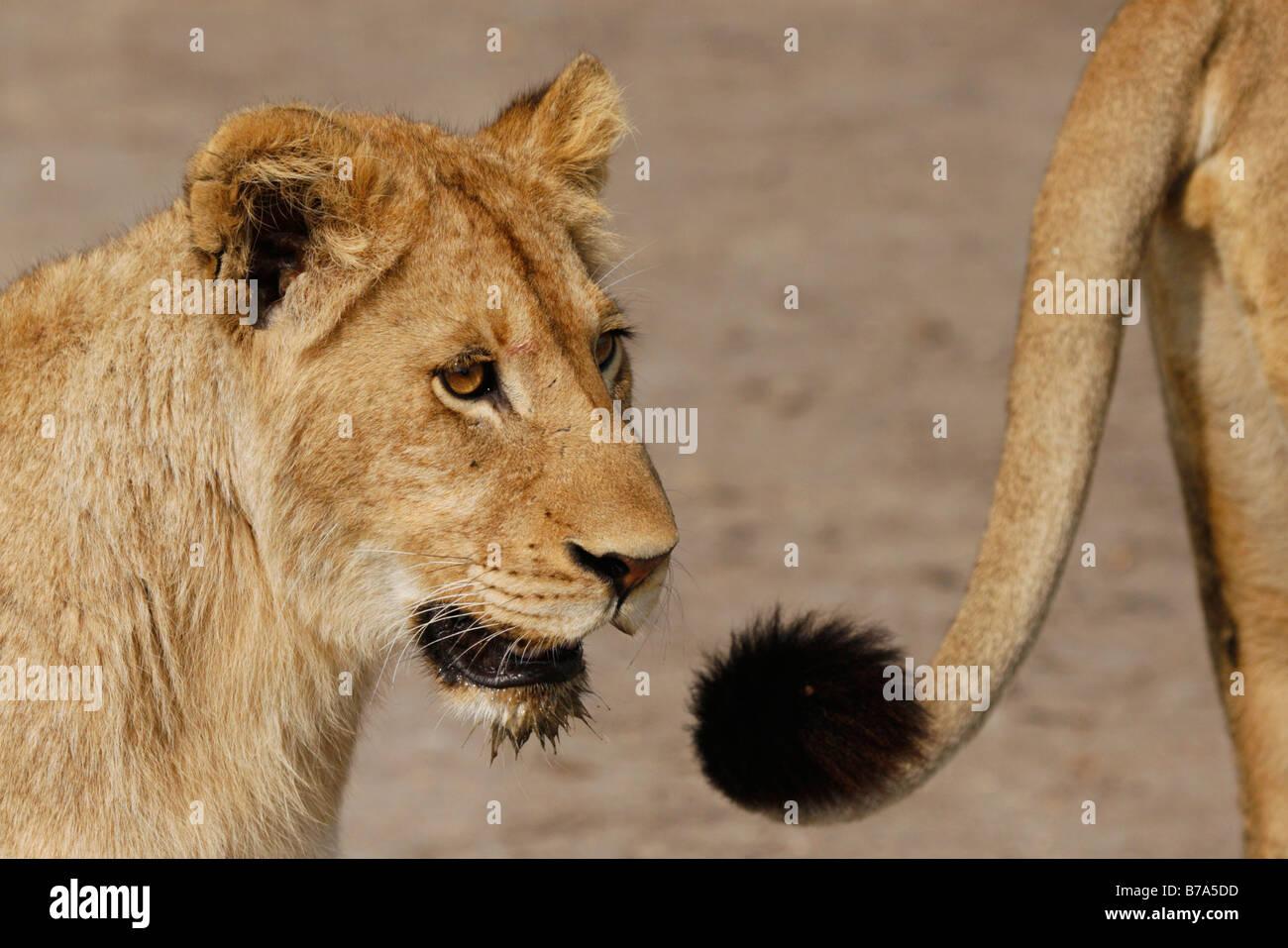 close up of a lion cub et la pointe d 39 une queue lions banque d 39 images photo stock 21736777 alamy. Black Bedroom Furniture Sets. Home Design Ideas
