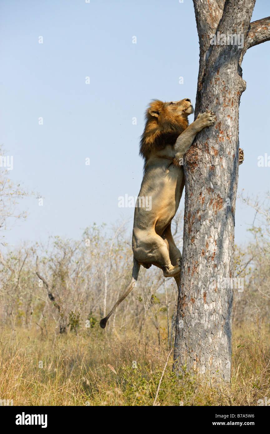 Un lion mâle escalade un arbre marula pour piéger les restes d'un léopard tuer Photo Stock