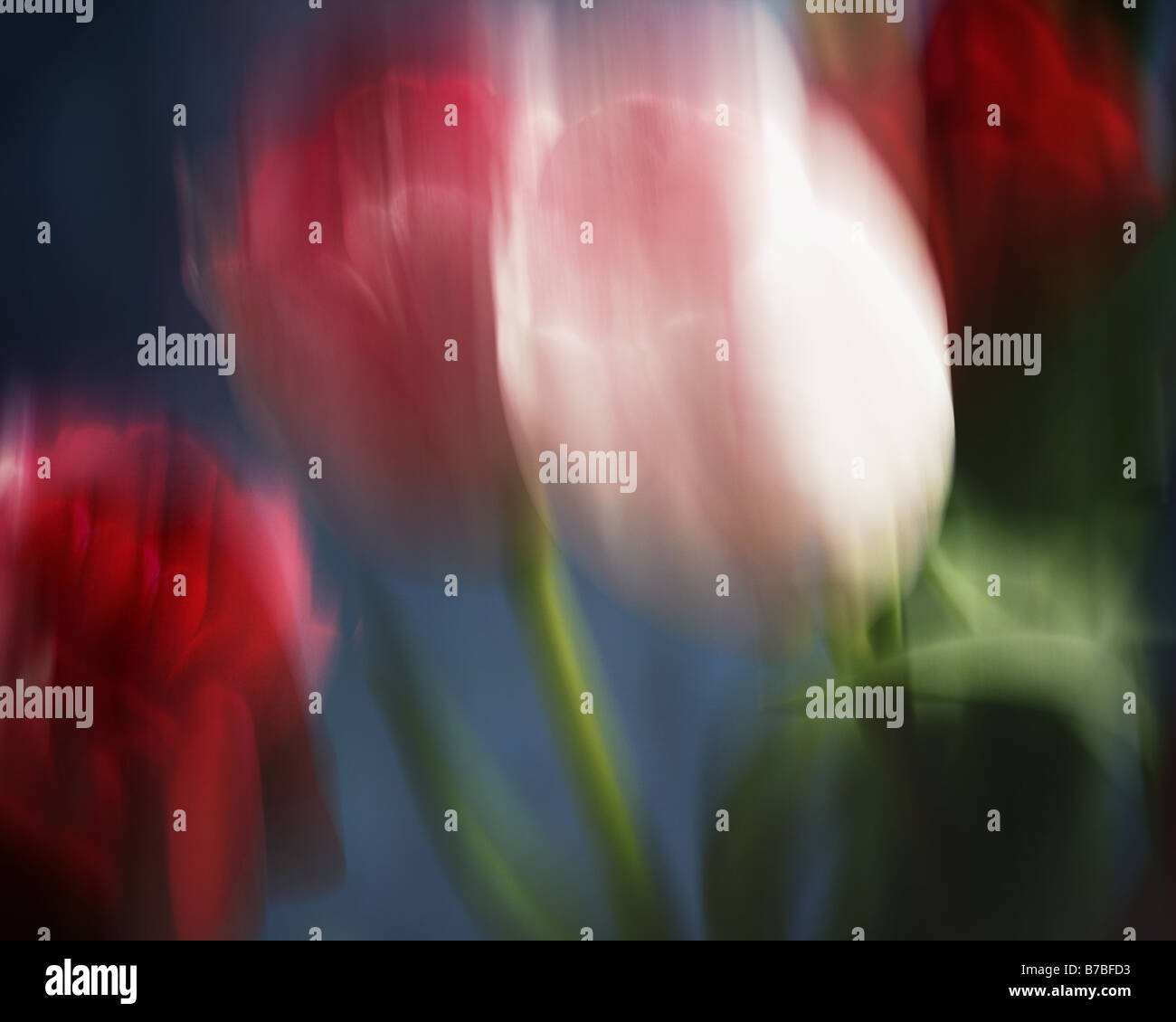 FINE ART : Tulip Arrangement (Photo Art) Photo Stock