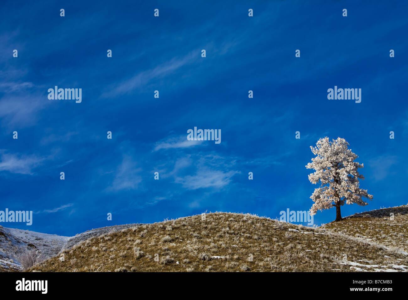 Un seul arbre couvert de neige sur le paysage Photo Stock