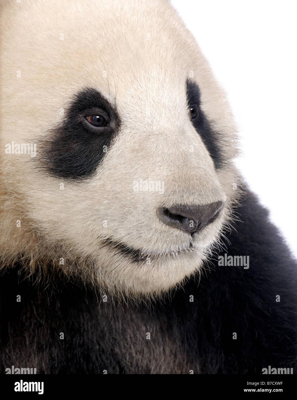Panda géant Ailuropoda melanoleuca 18 mois devant un fond blanc Photo Stock