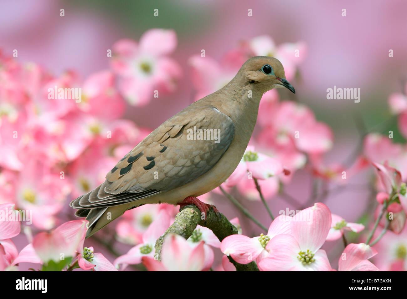 La Tourterelle triste en Cornouiller fleuri Photo Stock