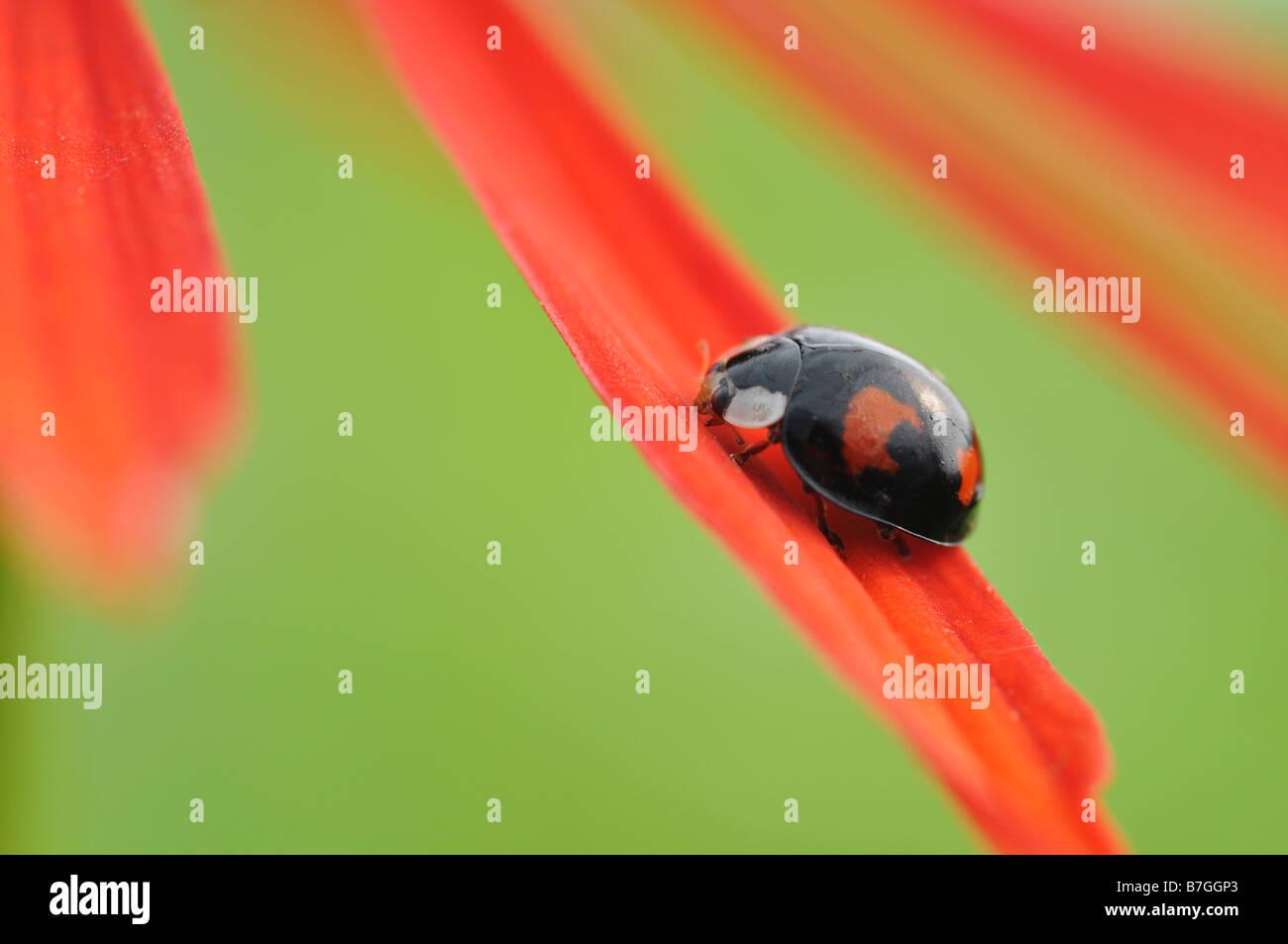 Coccinelle sur le pétale d'une fleur d'échinacée Photo Stock