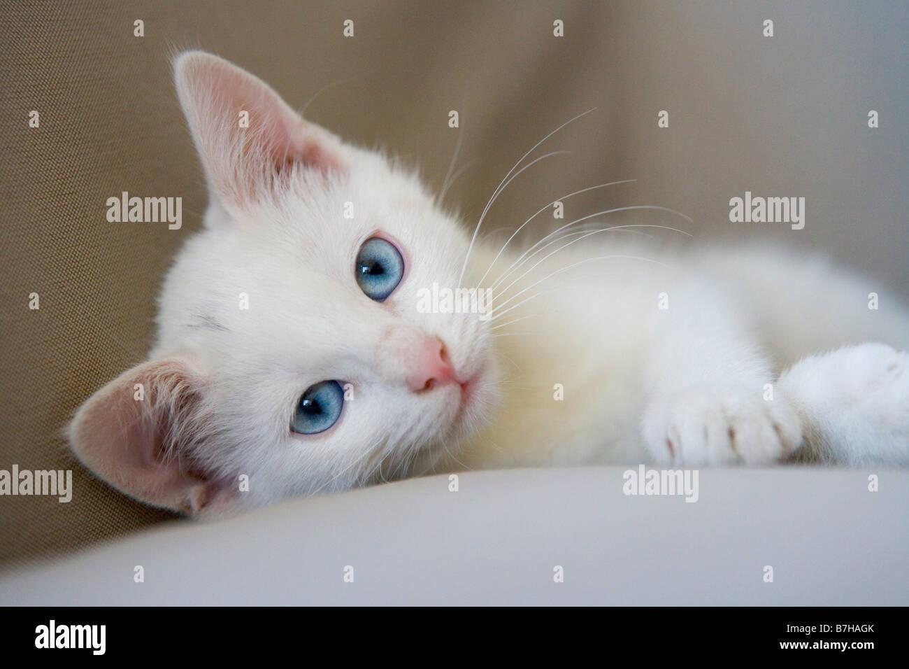 Chaton blanc aux yeux bleus Photo Stock