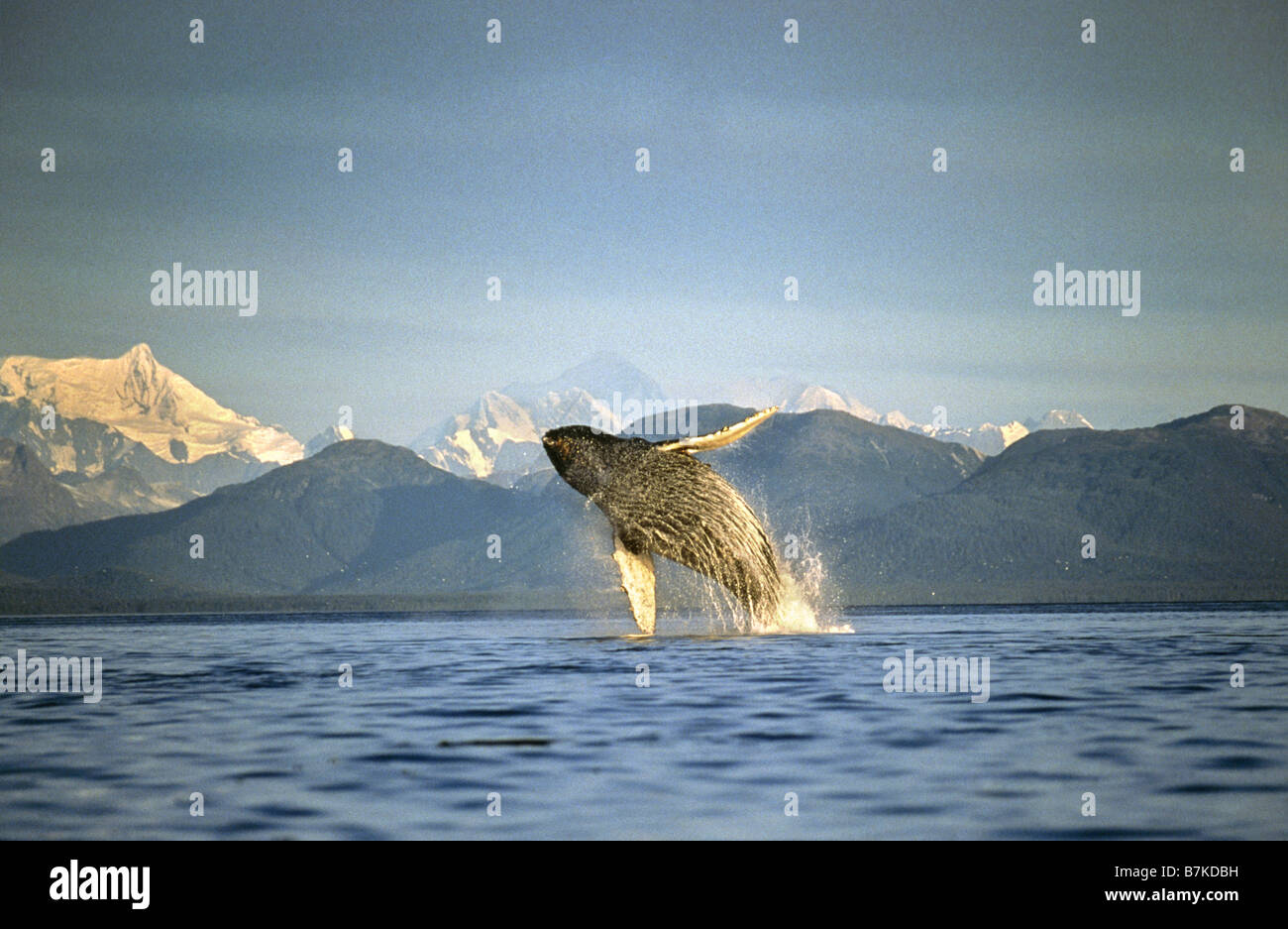 Humpback Whale breaching, Icy Straits, sud-est de l'Alaska Photo Stock