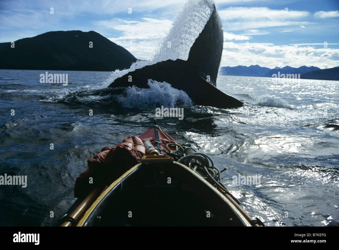 Baleine à bosse lobtailing, détroit de Chatham, le sud-est de l'Alaska Banque D'Images