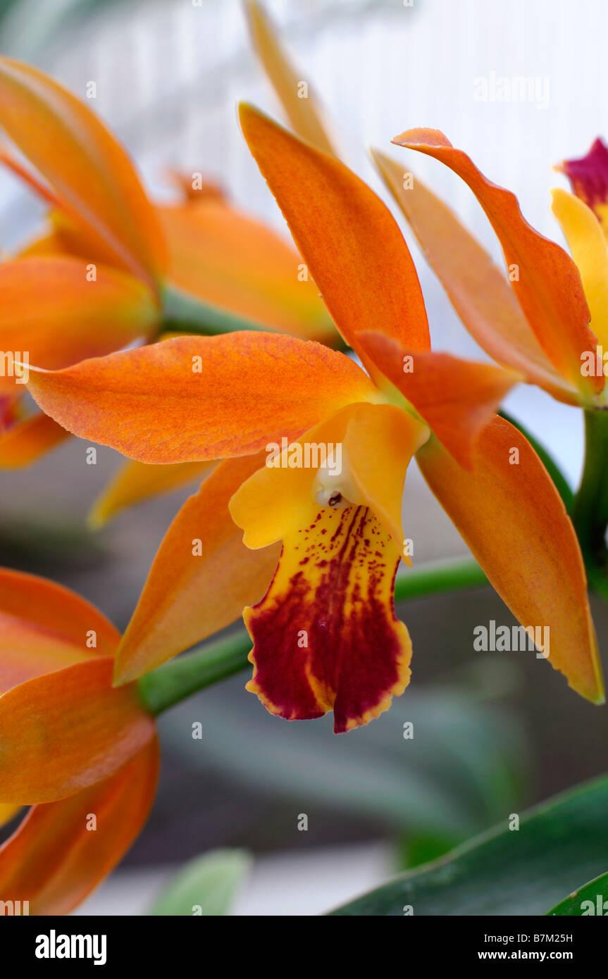 Hybrides De Cattleya Orchid Fleurs Orange Ouvrir Fleur Exotique