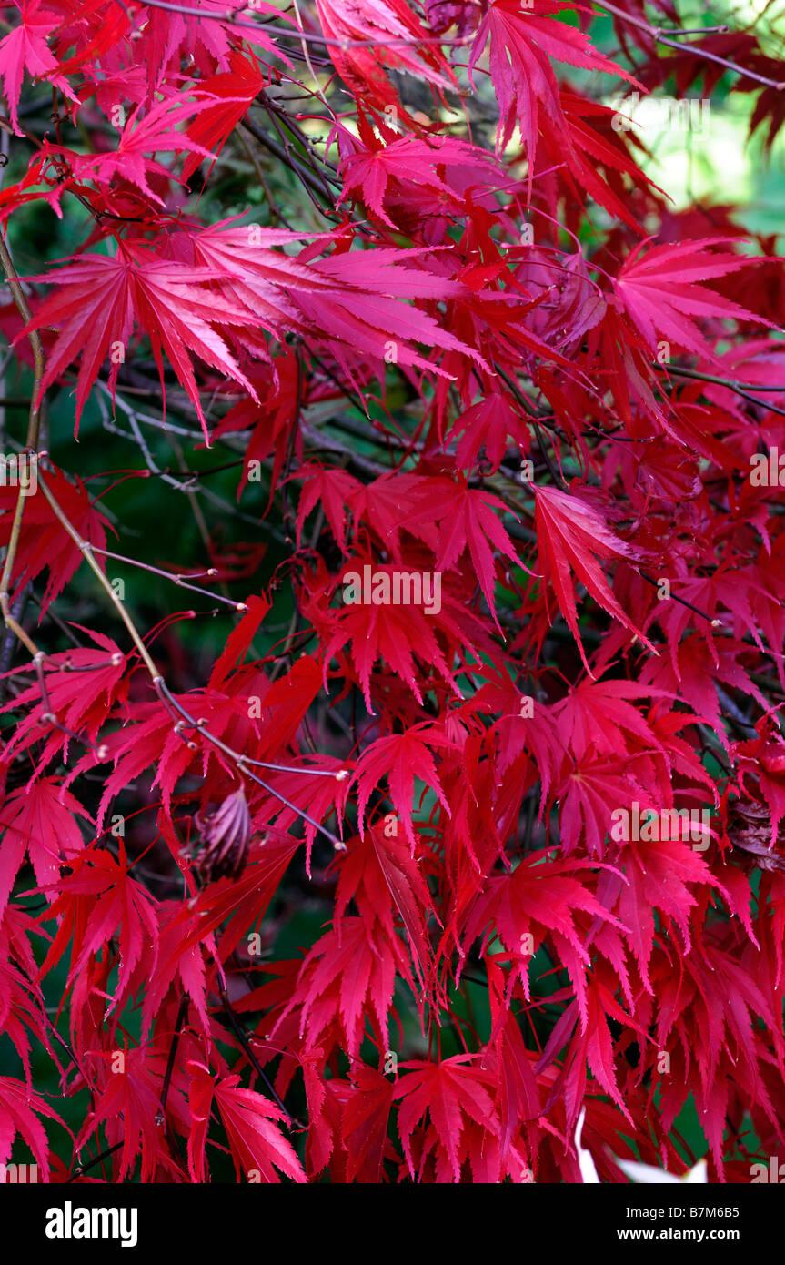 couleur rouge acer palmatum feuilles feuille automne automne automne couleur couleur arbre. Black Bedroom Furniture Sets. Home Design Ideas