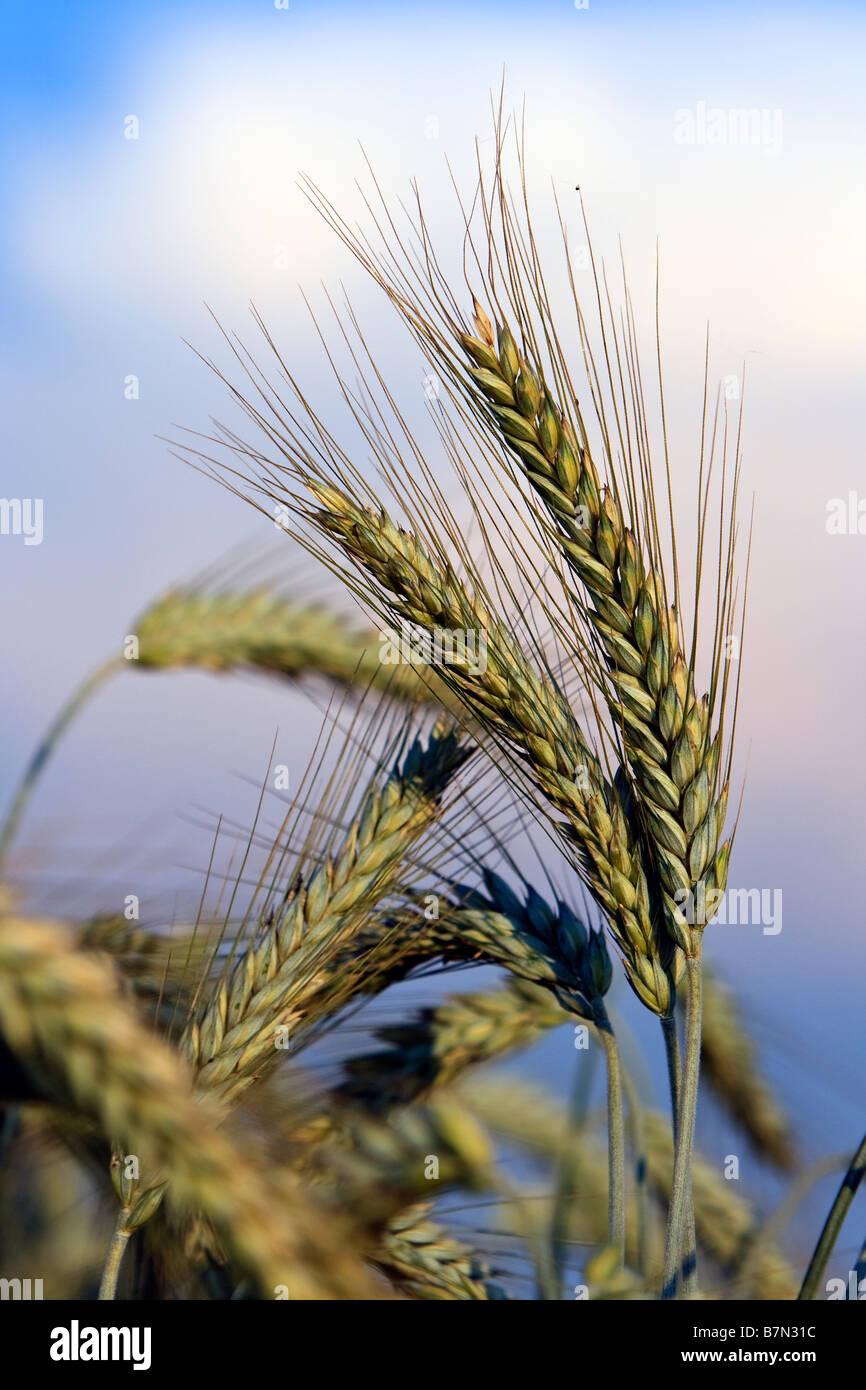 épis de blé Photo Stock
