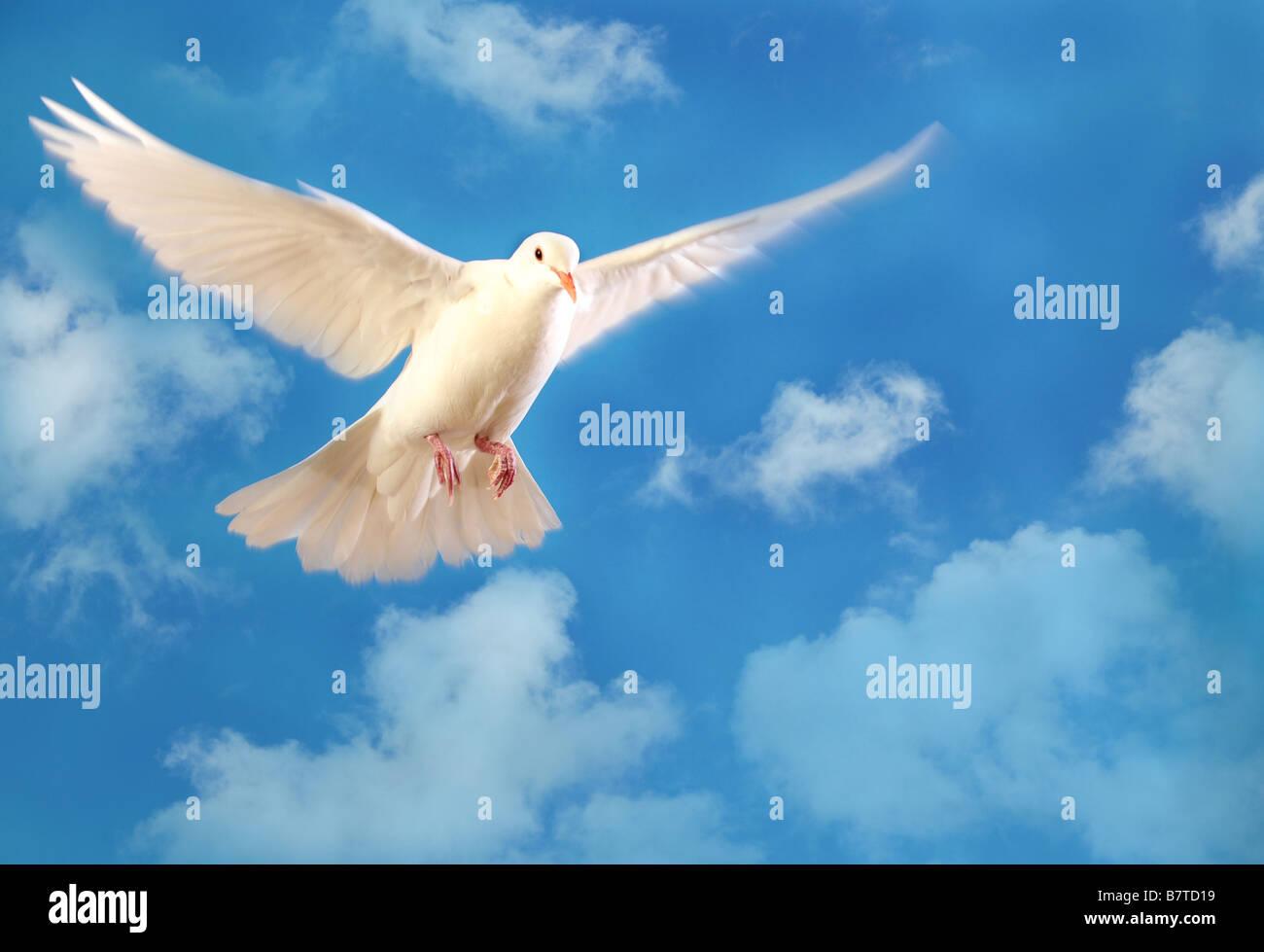 Colombe blanche volant isolé sur ciel bleu Photo Stock