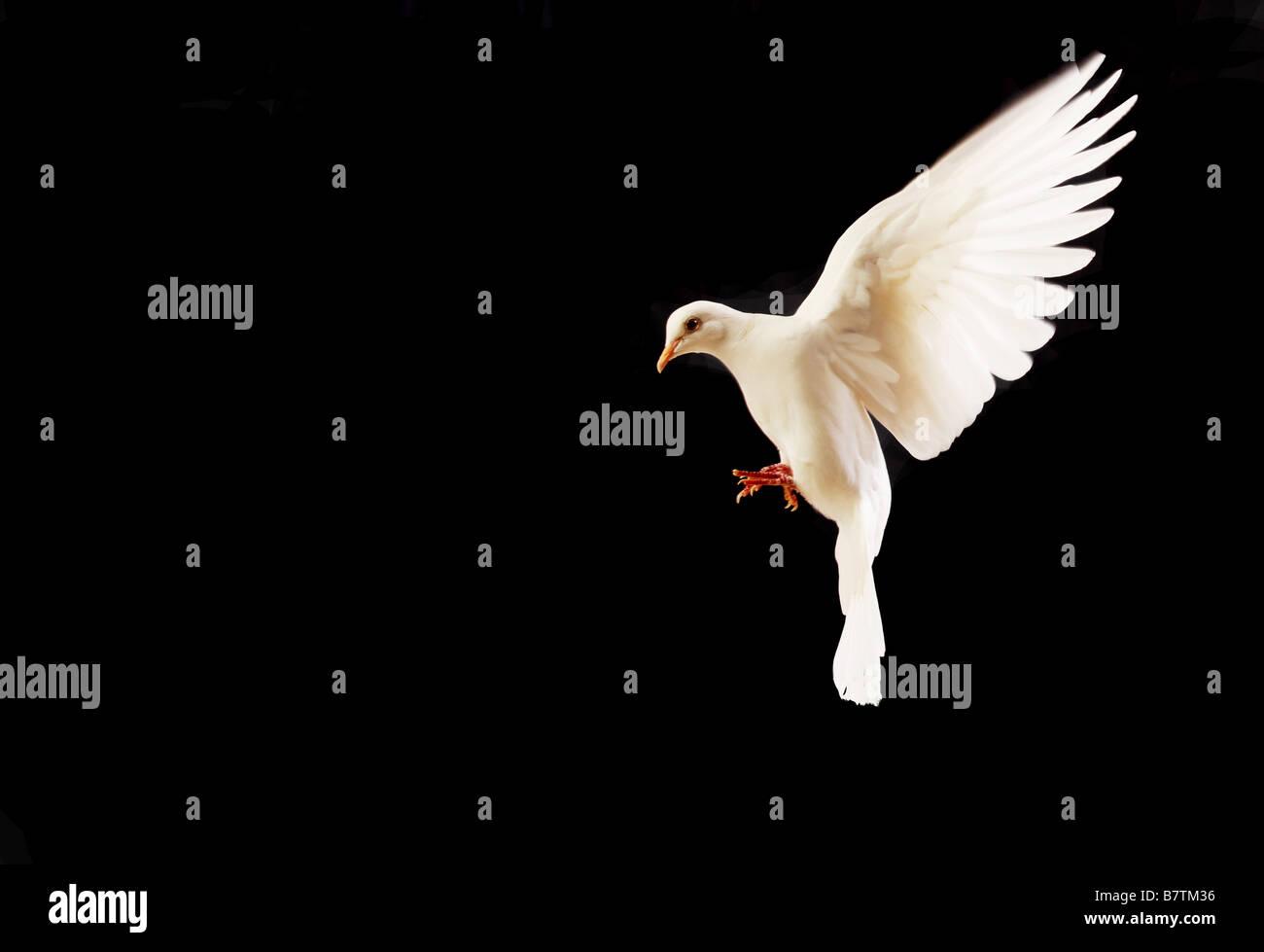 Flying white dove isolated on black Photo Stock