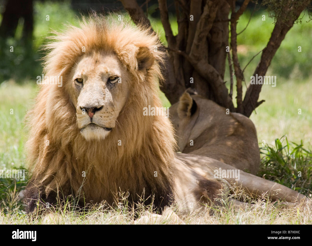 Lion Lion Park Afrique du Sud Photo Stock