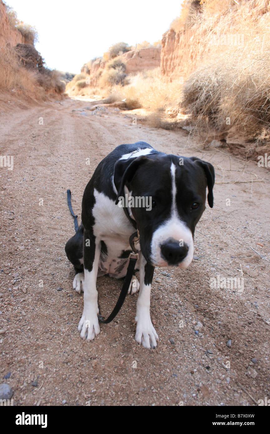 Grand chien noir et blanc avec une laisse, assis sur chemin de terre, d'attente, la tête en bas Photo Stock