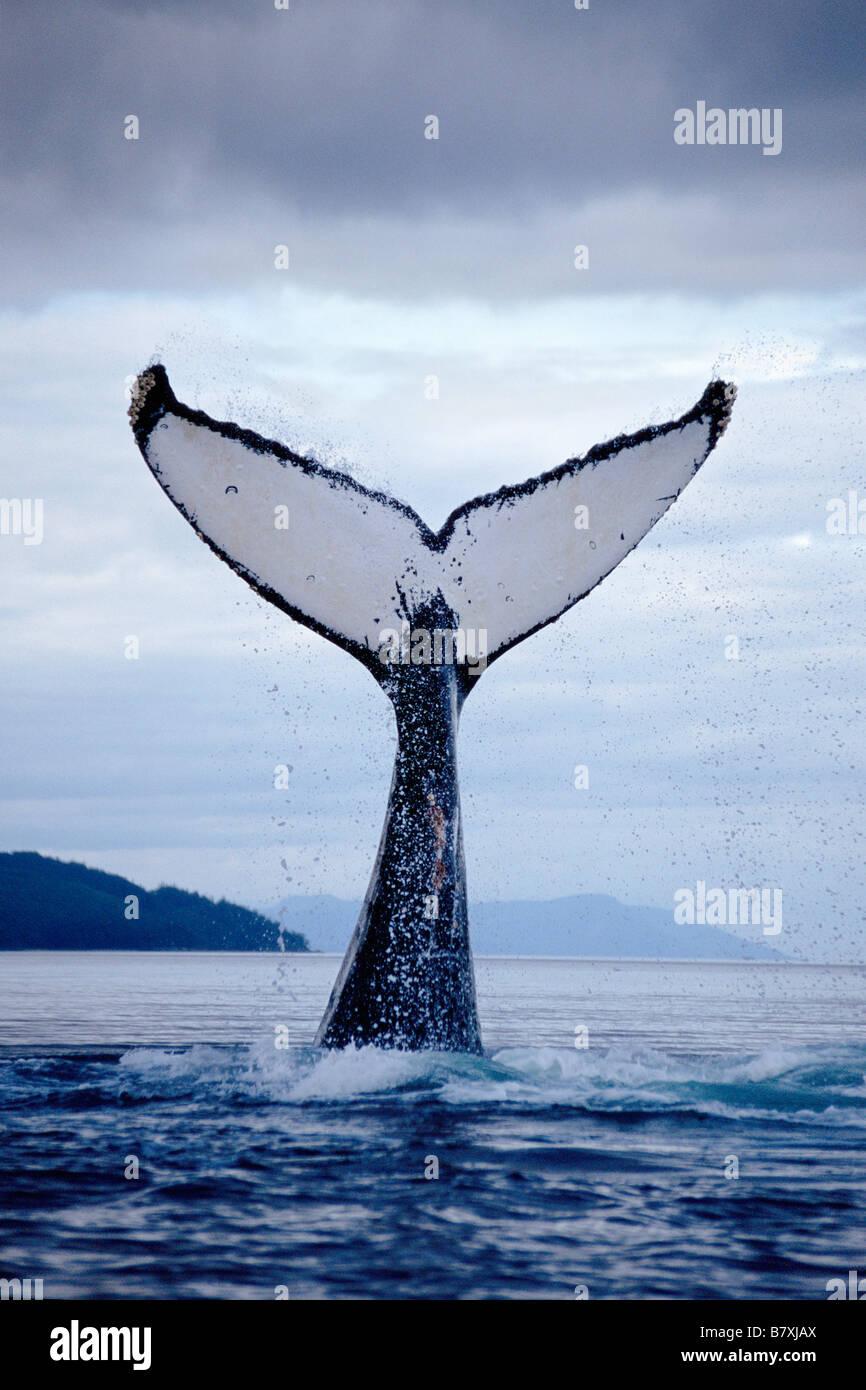 Baleine à bosse lobtailing, Chatham Strait, sud-est de l'Alaska Photo Stock