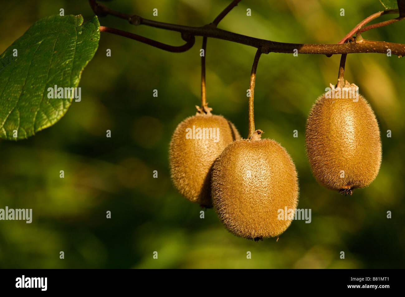 Kiwi Actinidia deliciosa Landes France Photo Stock