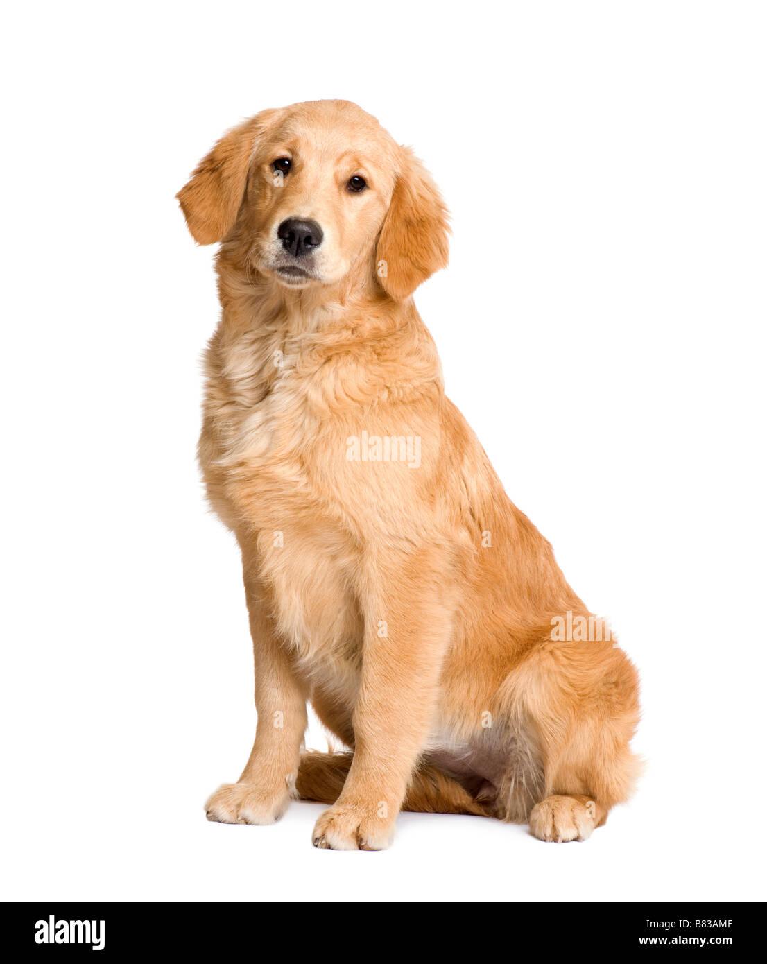 Chiot Golden Retriever 5 mois devant un fond blanc Photo Stock