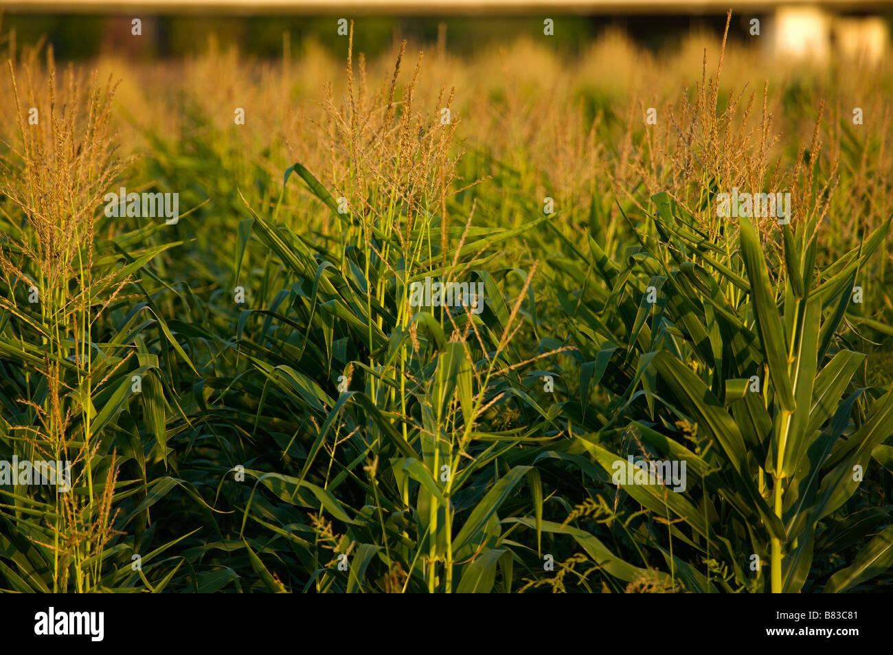 Fiel de maïs dans les Landes France Photo Stock