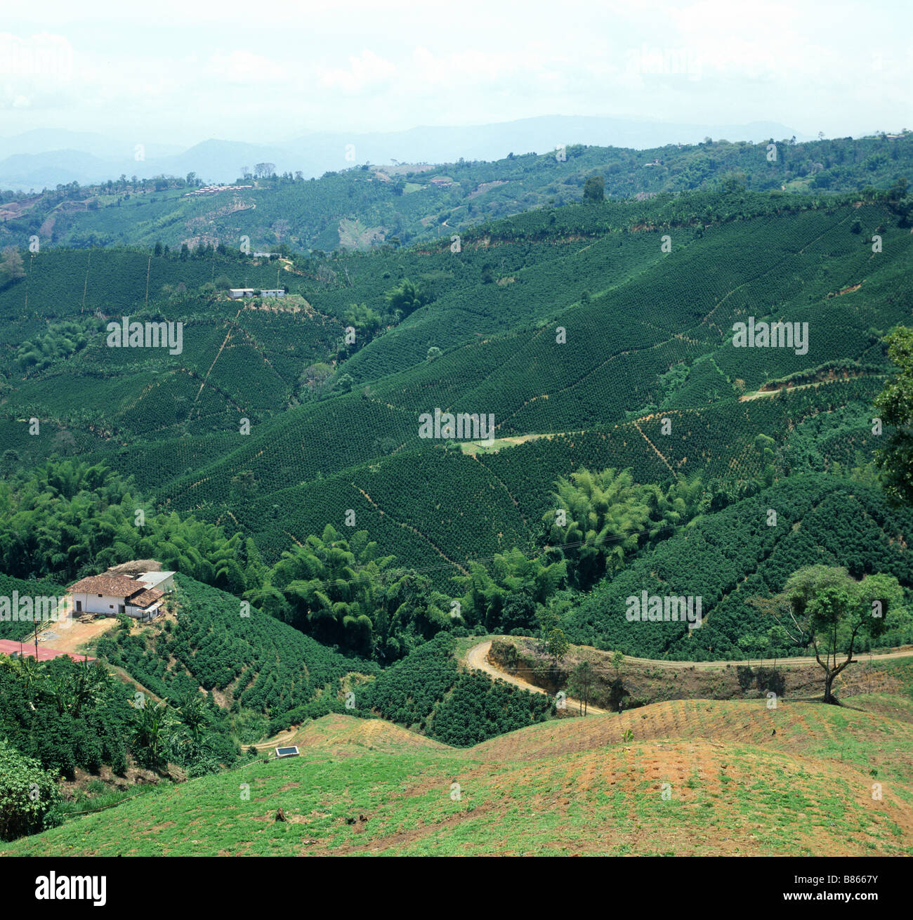 Les plantations de café de plaine sans arbres de l'ombre en Colombie Amérique du Sud Photo Stock