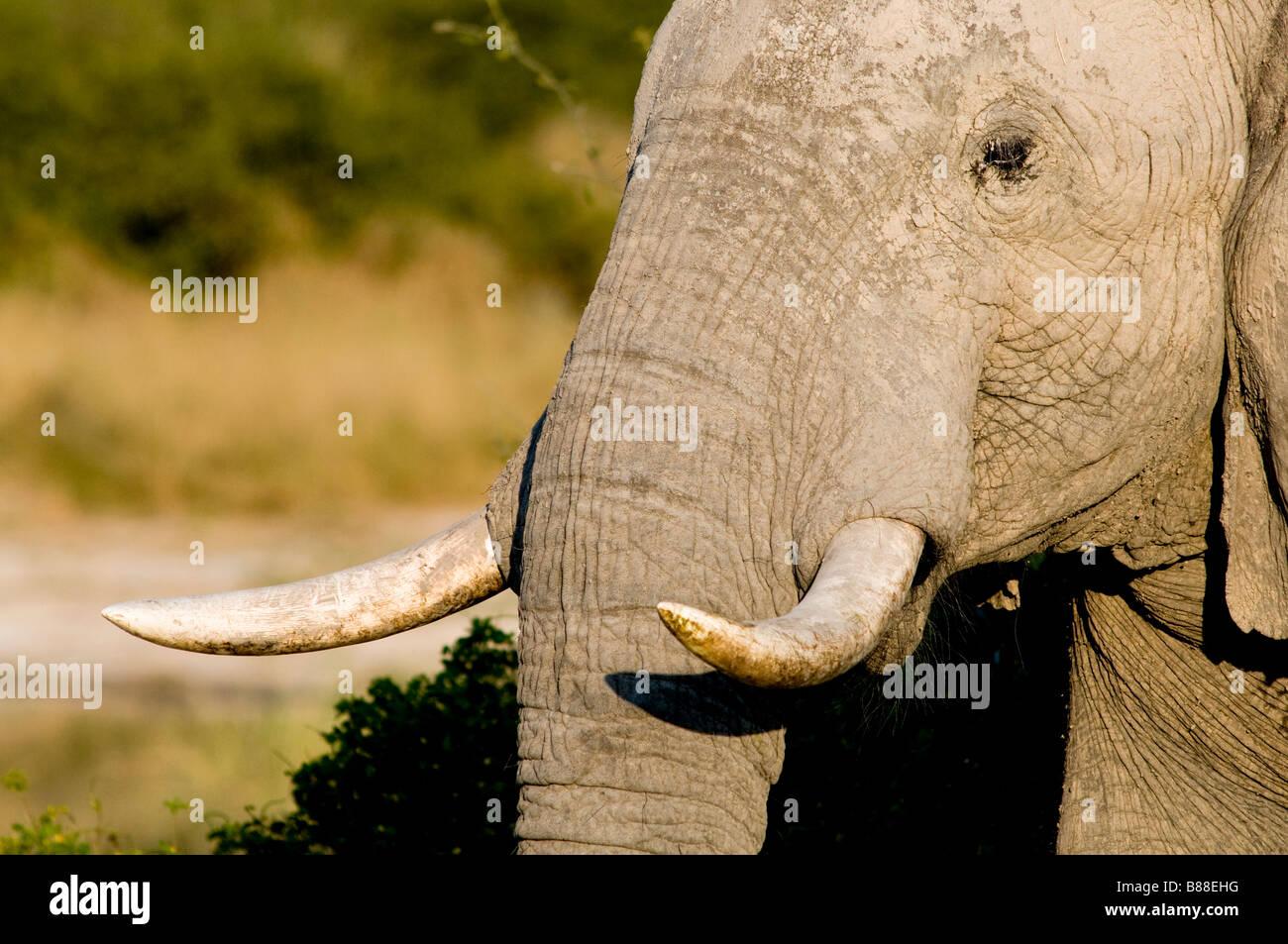Elephant Close up Photo Stock