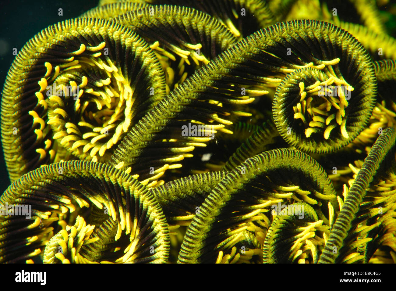 Feather star arms Banque D'Images