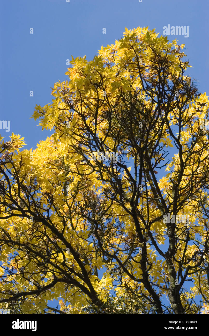 L'automne jaune feuilles de frêne rouge, Fraxinus pennsylvanica crispa, Oleaceae Photo Stock