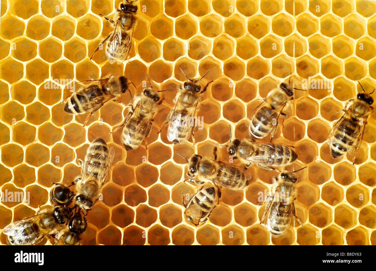 Vue aérienne des abeilles sur un peigne Photo Stock