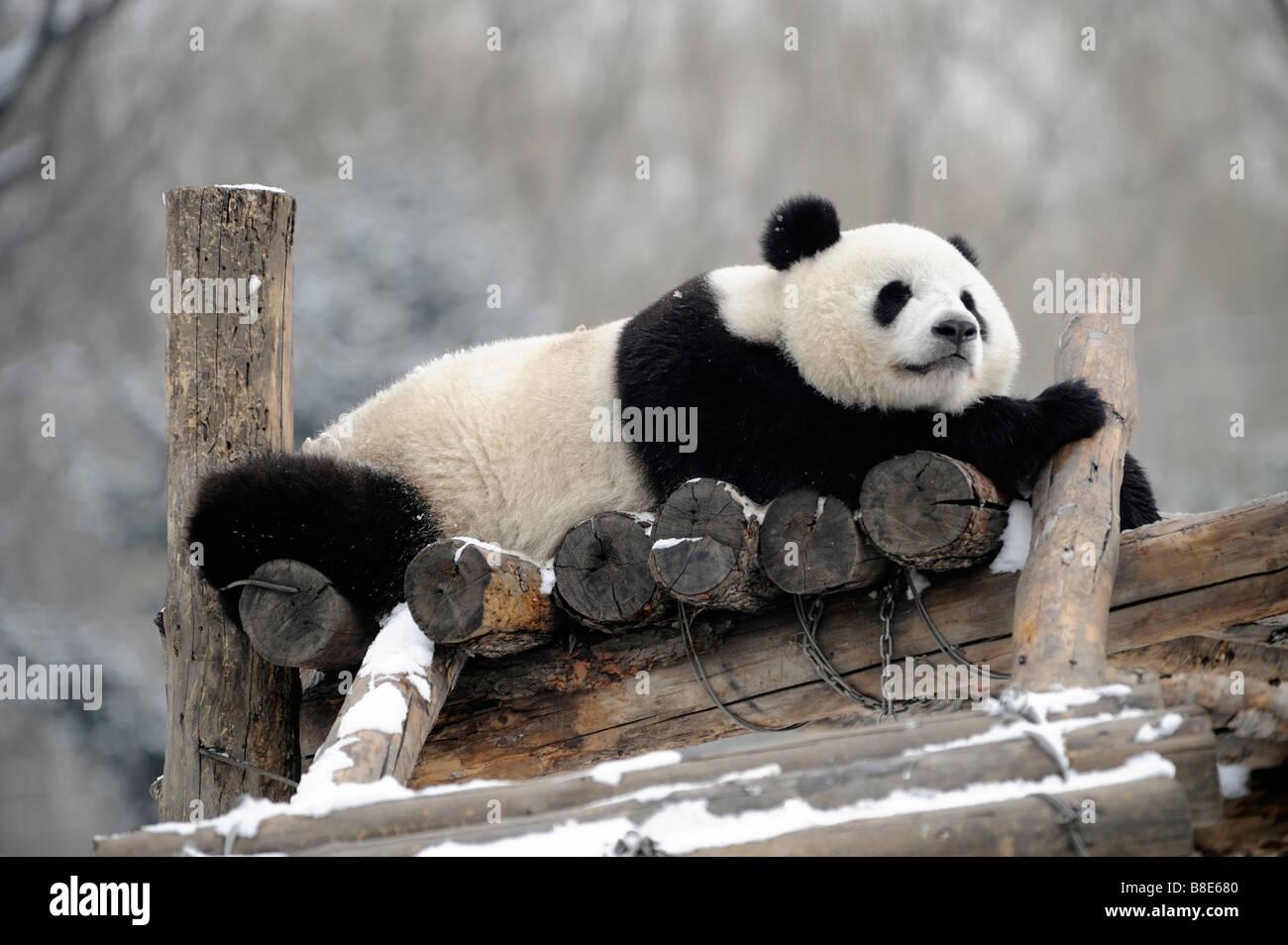 Un panda géant au Zoo de Pékin. 19-Feb-2009 Photo Stock