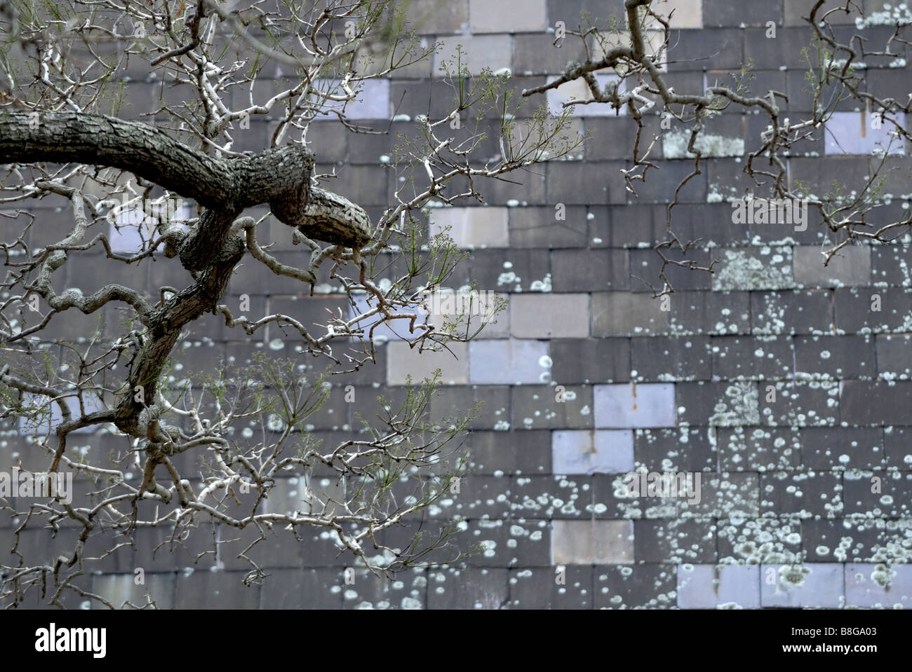 Les branches d'arbre nu avec le début du printemps, la croissance des lichens et toit en bardeaux d'ardoise Photo Stock