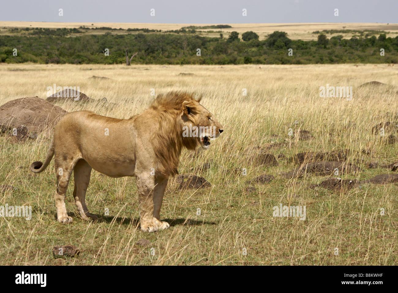 Lion mâle sur la savane, Masai Mara, Kenya Photo Stock
