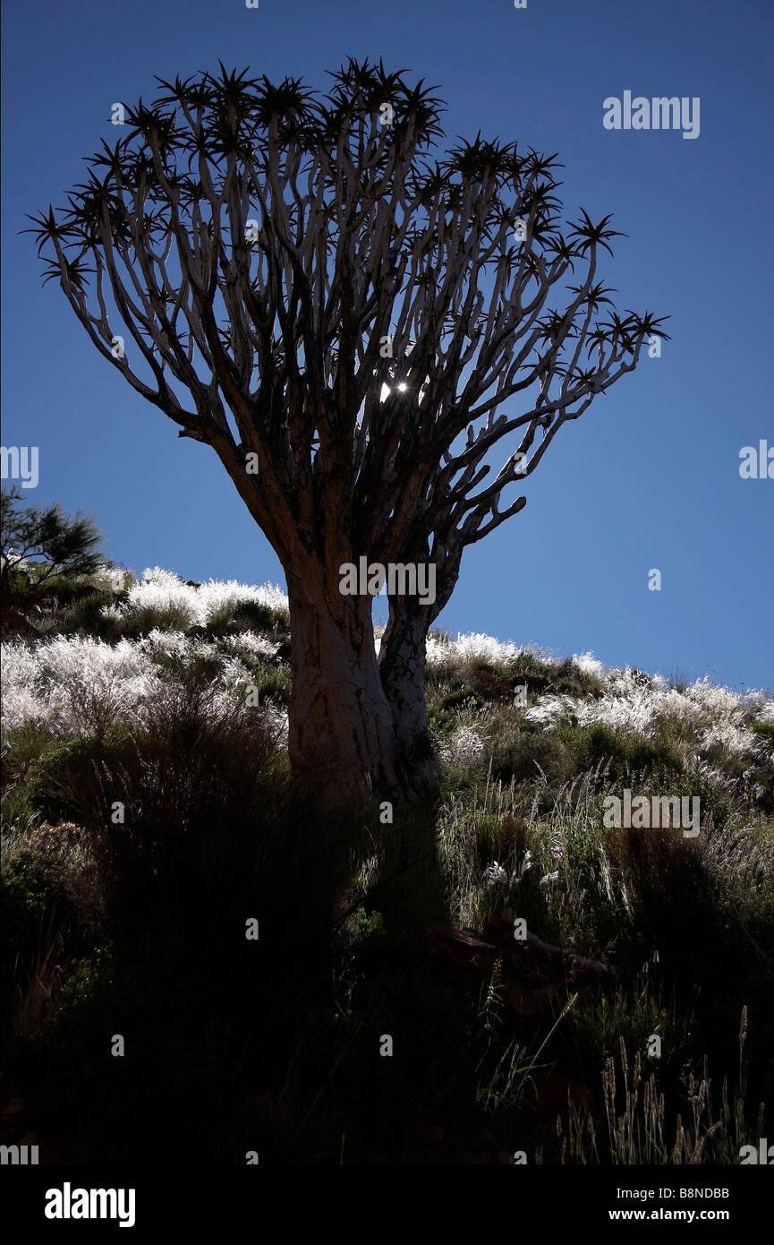 Quiver Tree (Aloe dichotoma) silhouette against a blue sky Photo Stock