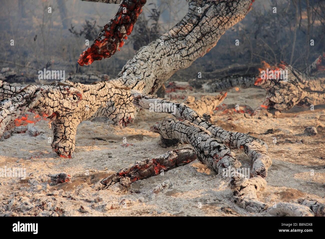 Arbre brûlé encore rougeoyant et cendres après les incendies dans le veld Tembe Elephant Park Photo Stock