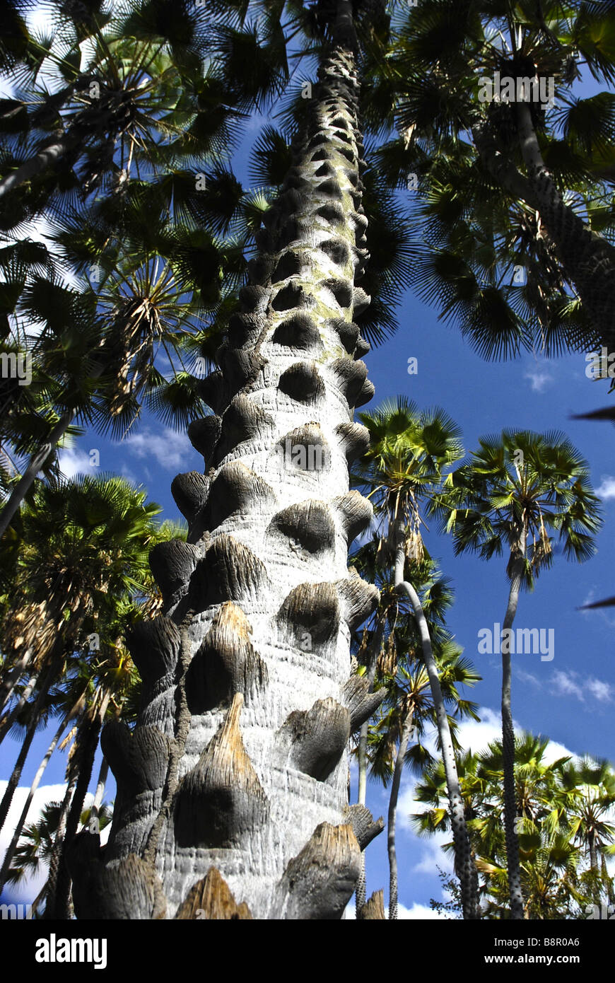 Palmier Carnauba est une espèce de palmier originaire du Brésil c'est la source de la cire de carnauba. Photo Stock
